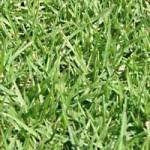 Seeds For Africa Kikuyu Lawn Grass Seed - Coated Kikuyu - 140 Grams - 20m2