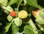 Seeds For Africa Indian Ginseng - Ashwagandha - Medicinal - Withania Somnifera - 10 Seeds