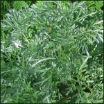 Seeds For Africa Wormwood - Heirloom Herb - Artemisia Absinthium - 200 Seeds
