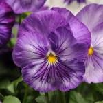 Seeds For Africa Pansy Matrix Lavender Shades - Viola Wittrockiana - Annual Flower - 10 Seeds