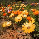 Seeds For Africa Mixed Colour African Daisy - Bulk Flower Seeds - 20 Grams