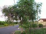 Seeds For Africa Moringa Oleifera - Tree - Medicinal - Seeds - 10 Seeds